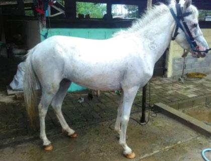 Kuda jantan putih jinak