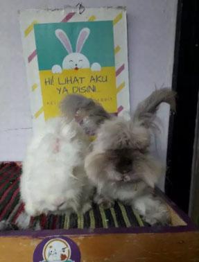 Sepasang indukan kelinci ras english anggora