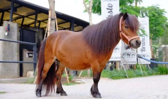 Kuda Pony Import