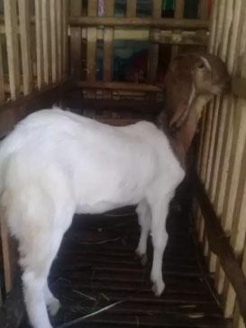 kambing 8 ekor
