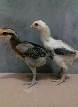 Ayam pelung anakan