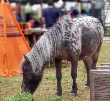 Kuda Pony Appaloosa