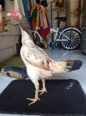 Ayam bangkok (betina) mangonthay