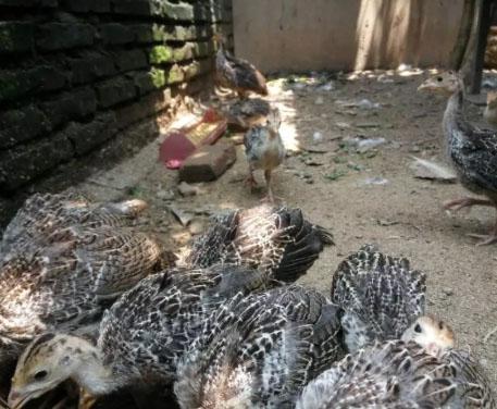 Ayam Kalkun Kuluk Kuluk