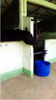 Kuda Pacu Jantan Warna Hitam