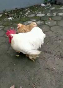 ayam cochin putih jual jantanya saja