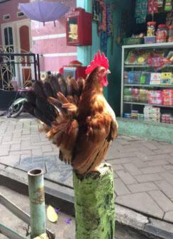 Ayam Kate Jantan Muda