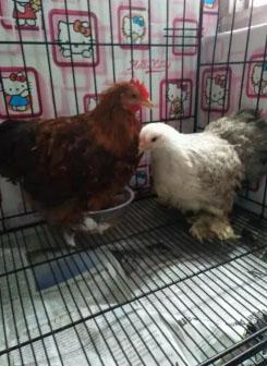 Ayam Bantam Cochin