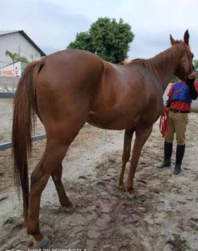 Kuda Betina Jinak dan Sehat
