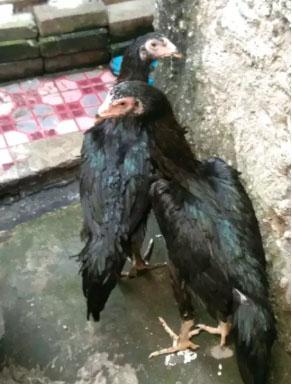 Ayam bangkok betina 2 ekor umur 5 bulan