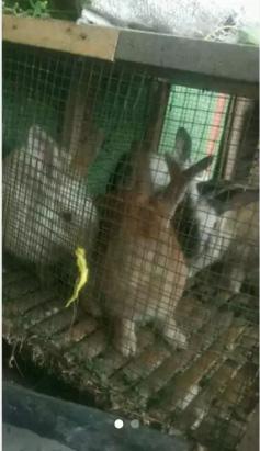 Indukan kelinci siap tuk produksi