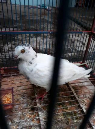 Burung dara putih sak kurungane