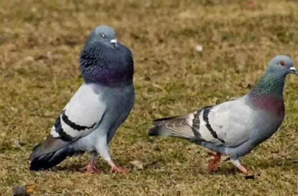 Jual Burung Dara