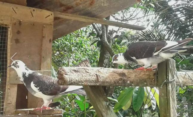 Burung cantik kawin silang merpati kipas vs dara