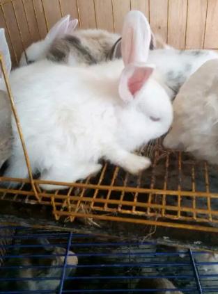 Kelinci anakan putih bersihsehat.