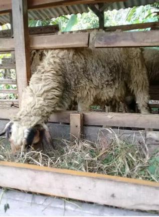 Di jual kambing ternak jantan dan betina dan kambing buat akiqah.