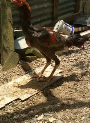 Jual ayam bangkok