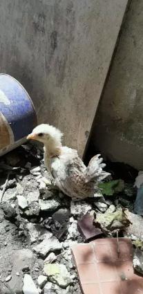 Anak ayam serama 1,5 bulan