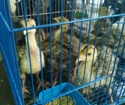 Anak Ayam Kalkun usia 1blnan