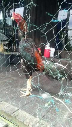 Ayam muda masih kd bisa di abar