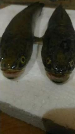 Ikan gabus/bogo alami {hidup}