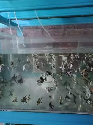 Ikan manfish 1.5 in