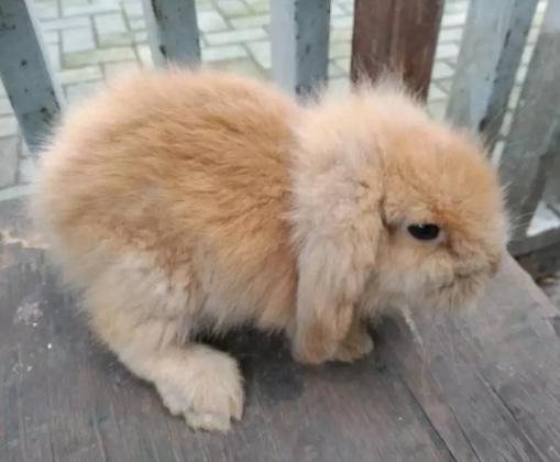 Anak kelinci fuzzyloop