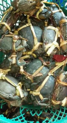 Jovina crab jual kepiting super papua