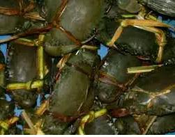 Kepiting jumbo segar hidup bertelur
