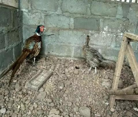 Ayam hias ringneck pheasant