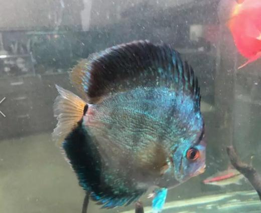 Ikan discus paket 5 ikan jual murah