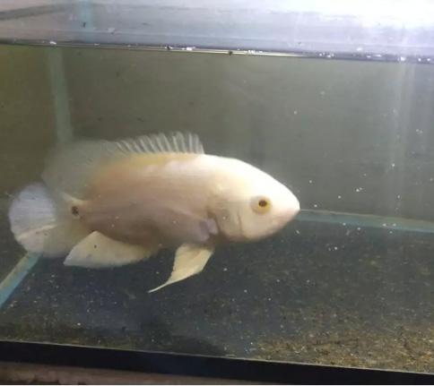 Jual ikan oscar albino, aquarium akrilik, filter