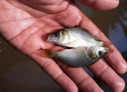 Jual bibitan ikan mas konsumsi berkwalitas