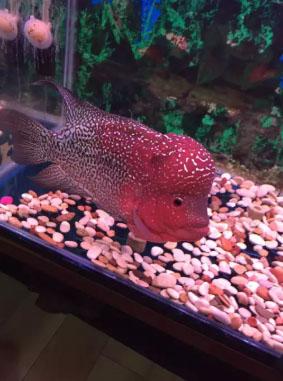 ikan louhan kamfa uk 14 cm .