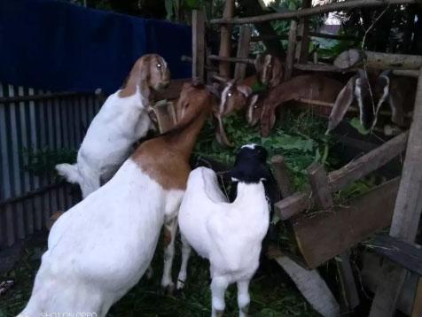 kambing 7 ekor
