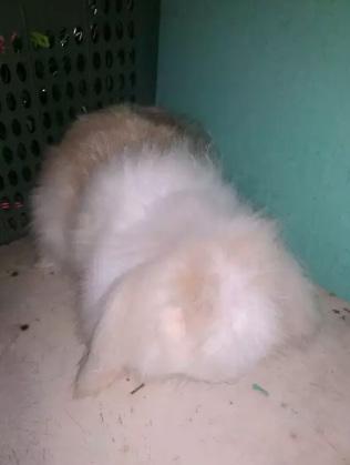 Kelinci fuzzy lop indukan betina