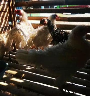 Ayam keriting/walik