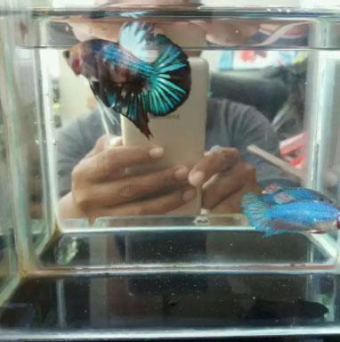 Sepasang ikan cupang plakat fancy
