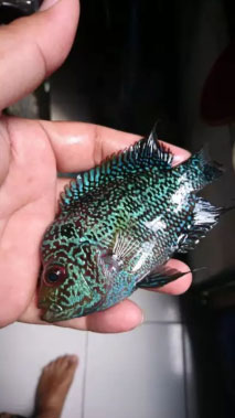 Ikan lohan kamfa jantan
