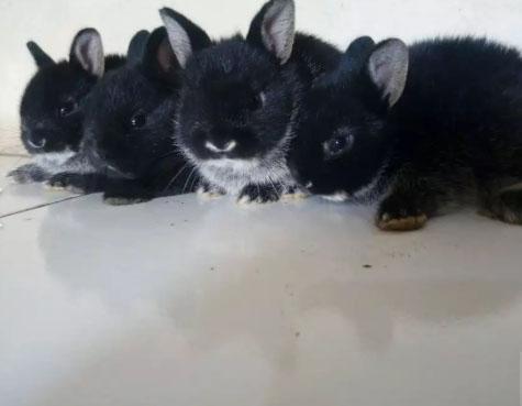 Kelinci jenis mini.nd,,nederland dwarf