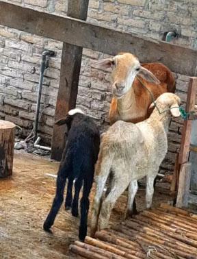 kambing biri2 induk kasar dan 2 anaknya jantan dan betina