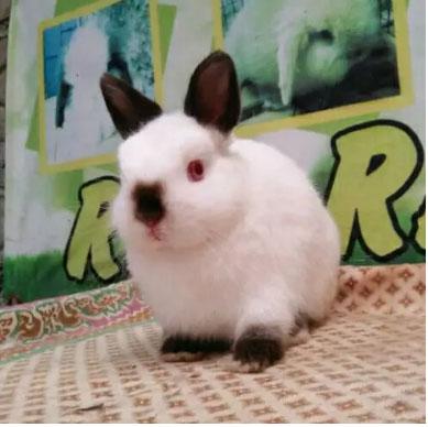 Kelinci mini himalayan 3.5 bulan