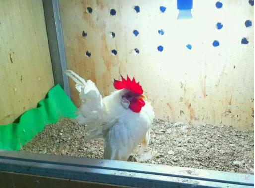 Ayam Serama Jantan untuk Pacek
