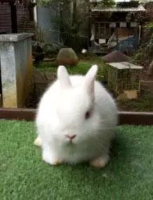 Kelinci mini ND netherland dwarf