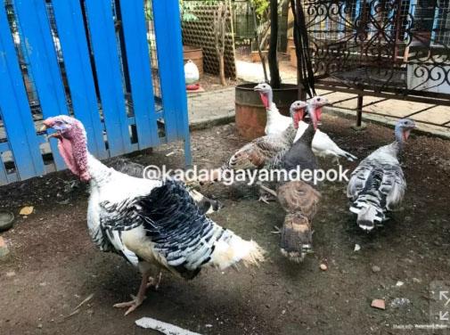 Ayam kalkun indukan produksi