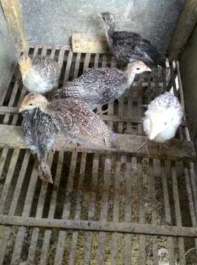 Anak Ayam Kalkun usu 1 bulan lebih