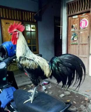 Ayam Pelung Jumbo Prospek Trah Juara (ada video)