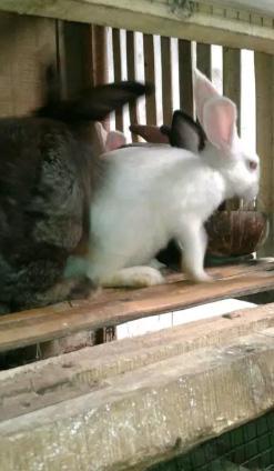 Kelinci remaja