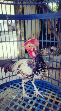 Ayam bekisar hijau widu jinak kokok limited