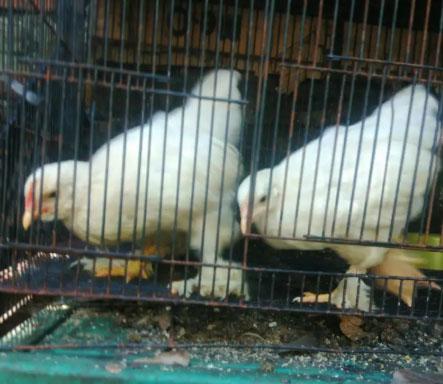 Ayam Giant Chocin Brewok x Brahma anakan